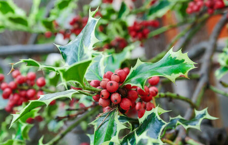 bush to grow up: Holly branches with fruits (Ilex aquifolium) Stock Photo
