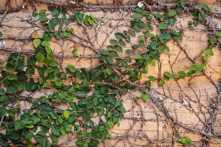 creep: Old wall overgrown with ivy