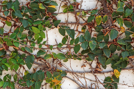 ivy hanging: Old wall overgrown with ivy