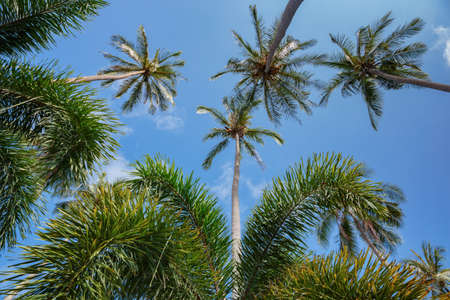 the view from below: Coconut palms on the background of blue sky, view from below