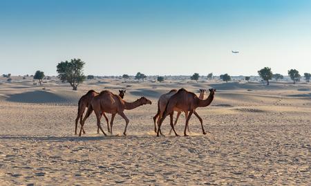 desierto del sahara: Camellos en el desierto de Dubai Foto de archivo