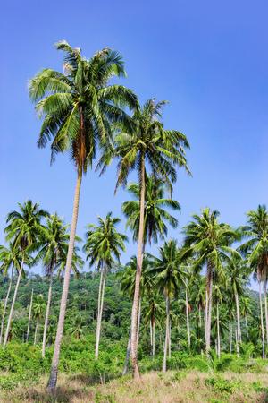 tropics: Palm grove in the tropics