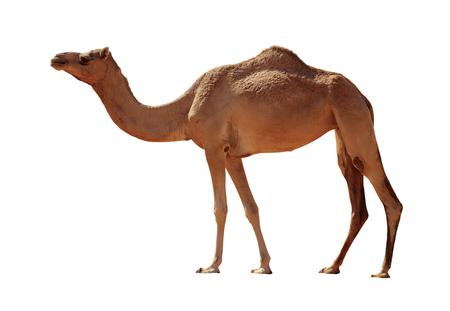 白い背景に分離されたアラビアのラクダ 写真素材