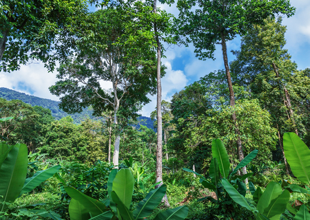 tropics: Rainforest forest in the tropics of Southeast Asia