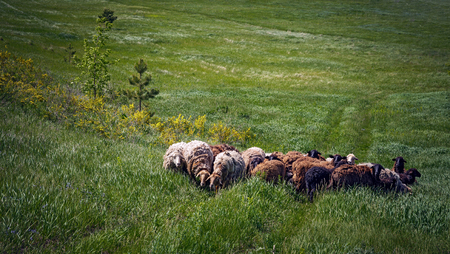 countrified: Herd of sheep on a green pasture