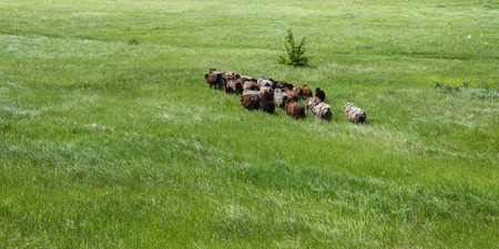 russet: Herd of sheep on a green pasture