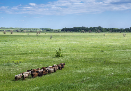 agriculturalist: Herd of sheep on a green pasture