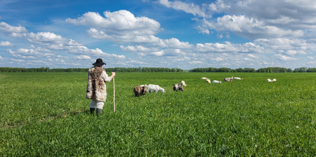countrified: Shepherd and herd of goats on a green pasture