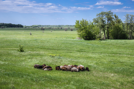 Herd of sheep on a green pasture