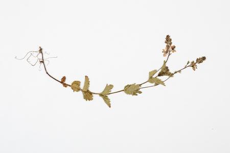 plantaginaceae: Veronica herbarium on white background.