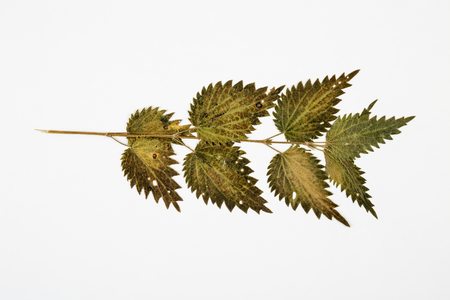 natural science: nettle herbarium on white background. Stock Photo