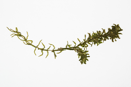 Elodea waterweed herbarium on white background.