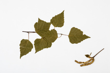natural science: Leaves of birch herbarium on white  background. Stock Photo