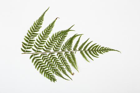 brake fern: fern herbarium on white background. Stock Photo