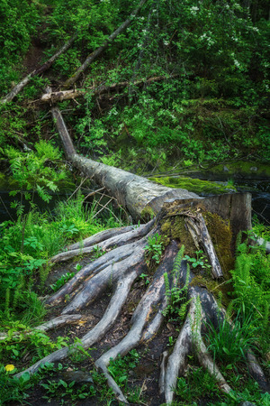 huge tree: An old stump with large roots in the northern forest