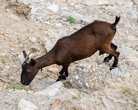 Wild mountain goat on a rock, mountains in Mallorca, Spain Imagens