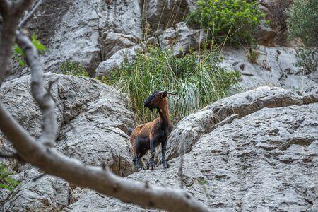 Wild goat  in the Sierra de Tramuntana mountains in Mallorca, Spain Imagens