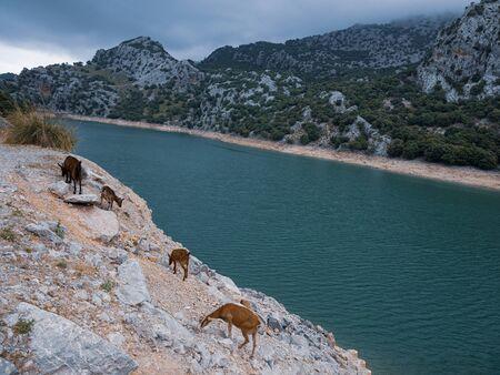 Wild goat in the Tramuntana mountains in Mallorca, Spain 版權商用圖片