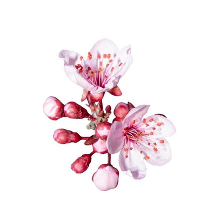 Small bunch of spring pink blossom isolated on white Stock Photo
