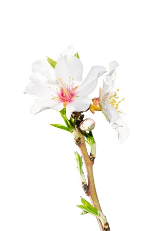 Spring blossoming branch with white flowers closeup isolate photo