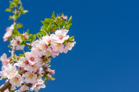 Branch of cherry tree blossoming with white and pink flowers photo