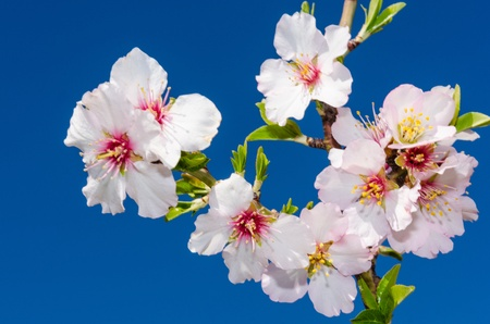 bourgeon: Blooming bunch of spring flowers on cherry tree over blue