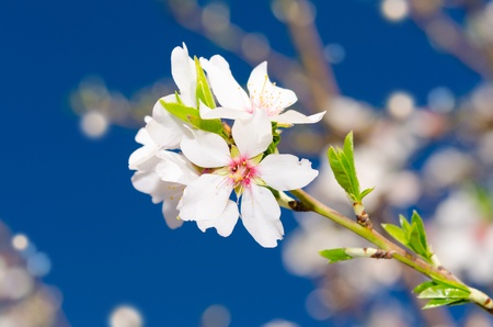 bourgeon: Small branch of white spring bloom over blue sky as background