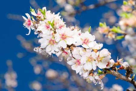 White spring blooming branch of apricot tree over sky