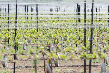 vernal: Rows of green sprouts at alpine vineyard on Golan Heights