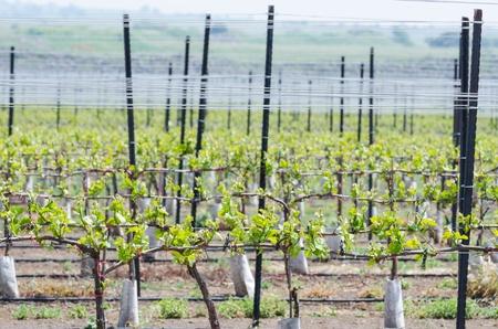 Frisse lente zaailingen van de wijndruif op alpiene plantage