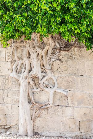 intertwined: Force of nature - Living tree with intertwined roots growing out of the ancient wall