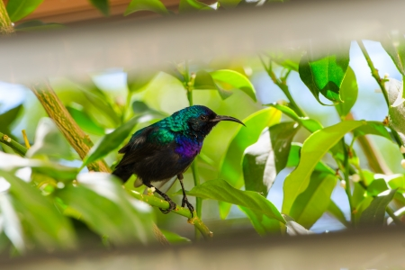 Palestine sunbird outside the window sitting in foliage of citrus tree