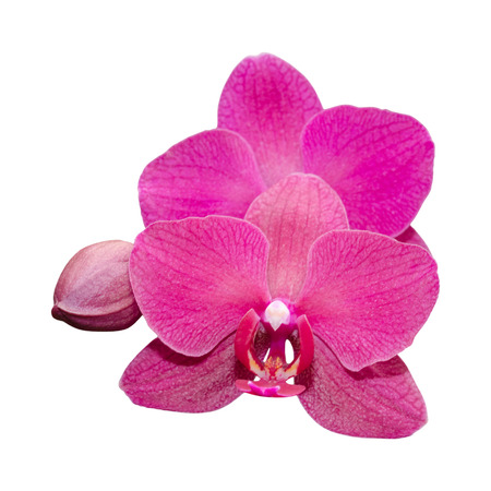Purple orchid flower with bud isolated on white photo