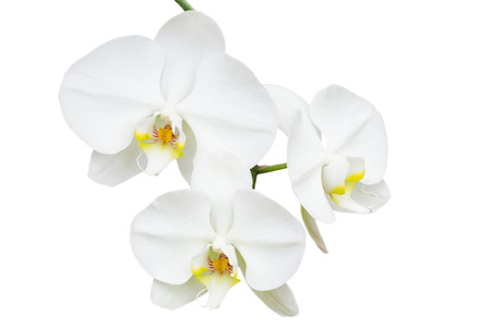 Close-up branch with three delicate white orchids flowers isolated photo