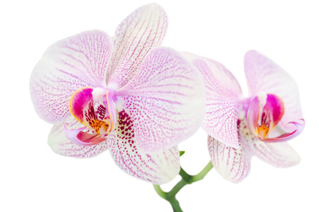 Small branch with two spotted orchids isolated on white photo