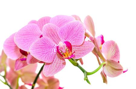 Zonlicht lente orchidee bloem heldere gespot geïsoleerd op wit