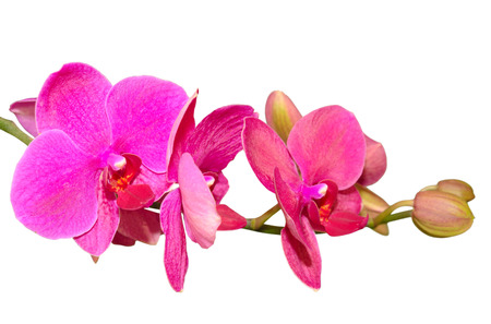 Branch of romantic beautiful violet orchids flower isolate