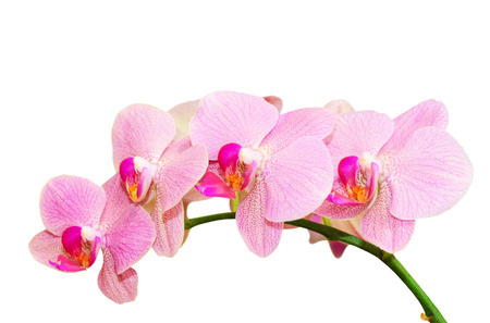Romantic purity branch of spring pink spotted orchids isolated on white Standard-Bild