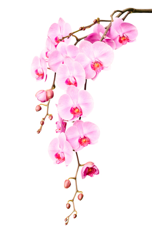 Big beautiful branch of pink orchid flowers with buds isolated on white Standard-Bild