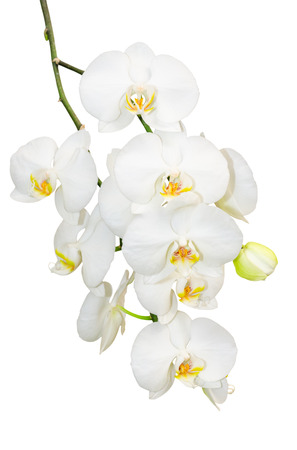 Beautiful gentlie branch of white romantic orchid flowers isolate photo