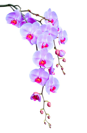 Big elegant branch of lilac orchid flowers with buds isolated on white photo