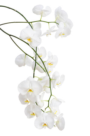 Long branches of beautiful white orchid flowers isolated on white photo