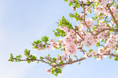 Branch of pink spring blossom cherry tree against blue sky