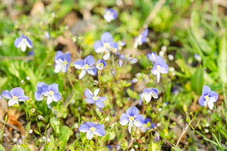 sward: Small blue spring flowers on the sunlit meadow. Closeup photography. Stock Photo