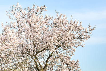 Almond tree with spring blossom flowers against blue sky