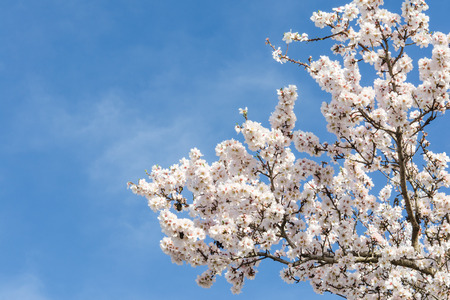 Almond tree springtime blooming of white flowers over blue sky with free space for your text