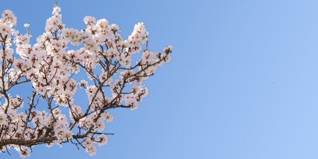 Big branch of springtime blossom almond tree with copy-space for text photo