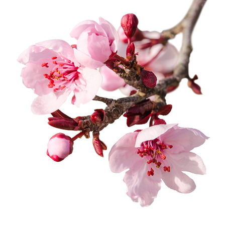 Branch of spring plum blossom with pink flowers and buds isolated on white Stockfoto