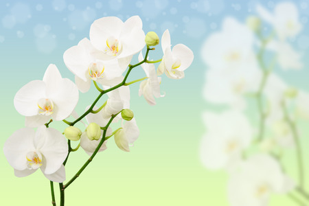 Spring morning background with branches of white orchid flowers and copy-space for text photo