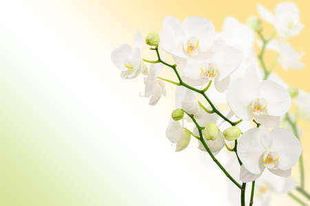 Morning spring background with branches of white orchid flowers and free place for text photo